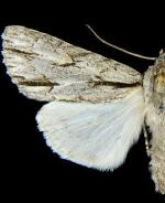 Acronicta strigulata