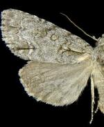 Acronicta spinigera