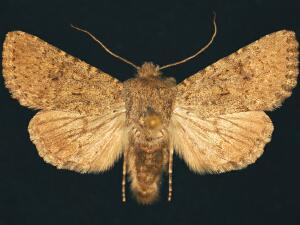 Scotogramma stretchii