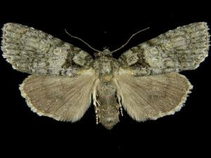 Acronicta increta