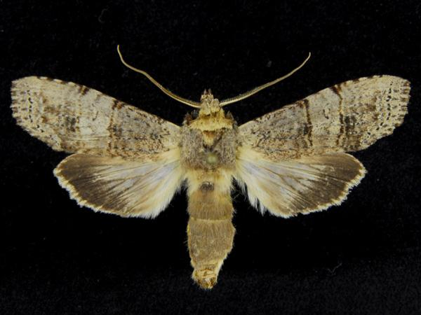moth photographers group � nystalea indiana � 7945
