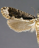 Daviscardia coloradella