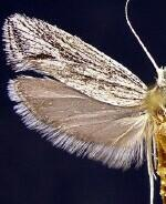 Ypsolopha striatella