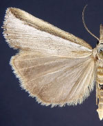Crambus dimidiatellus