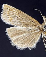 Pediasia browerellus
