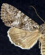 Apamea occidens