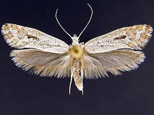 Ypsolopha angelicella