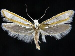 Ypsolopha cockerella