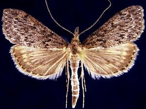 Saucrobotys fumoferalis