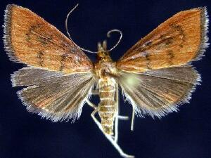 Oenobotys texanalis
