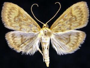 Crocidophora serratissimalis