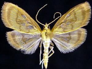 Crocidophora tuberculalis