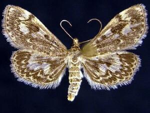 Phlyctaenia coronata