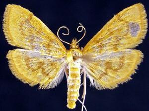 Phlyctaenia leuschneri