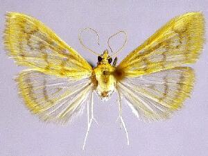 Hahncappsia marculenta