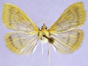Hahncappsia neomarculenta