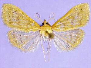 Hahncappsia neobliteralis