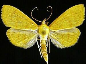 Ecpyrrhoerrhoe puralis