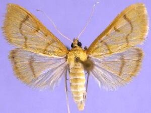 Neohelvibotys neohelvialis