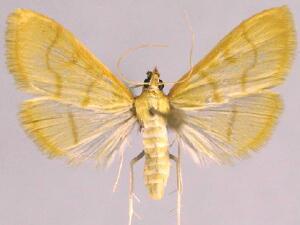 Neohelvibotys arizonensis