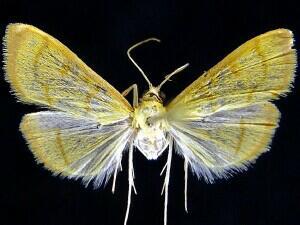 Helvibotys pseudohelvialis