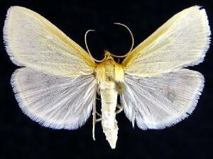 Sitochroa dasconalis