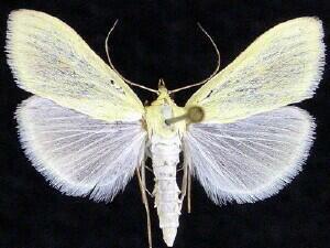 Sitochroa palealis