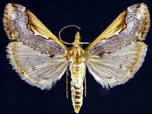 Loxostege albiceralis
