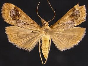 Loxostege typhonalis