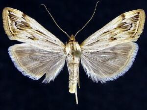 Loxostege oberthuralis