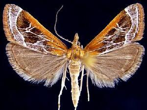 Pyrausta nexalis