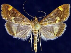 Pyrausta flavibrunnea