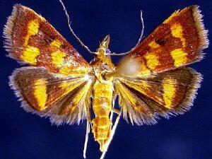 Pyrausta phoenicealis