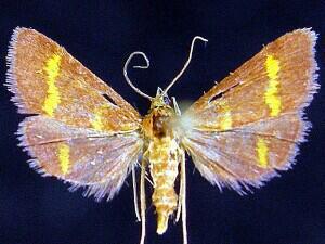 Pyrausta pseuderosnealis