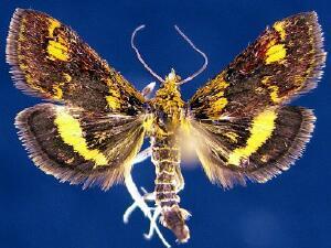 Pyrausta orphisalis