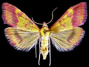 Pyrausta perrubralis
