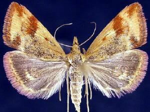 Pyrausta semirubralis