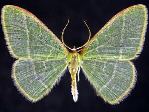 Nemoria arizonaria