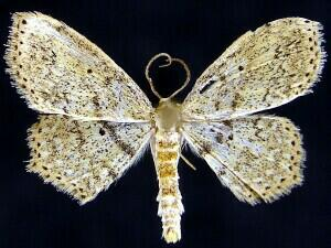 Scopula apparitaria