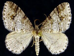 Venusia cambrica