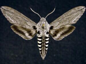 Sphinx libocedrus image