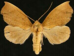 Goniapteryx servia