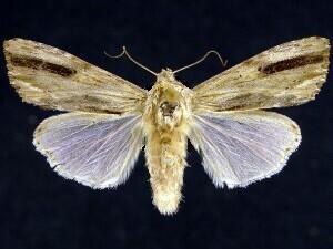 moth photographers group � spodoptera eridania � 9672