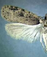 Agonopterix paulae