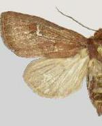 Resapamea angelika