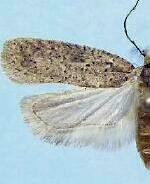 Agonopterix dammersi