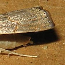 Parapediasia decorellus