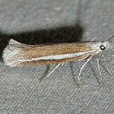 Plutella sp