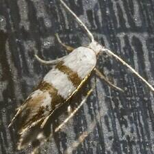 Argyresthia calliphanes