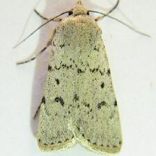 Euxoa catenula